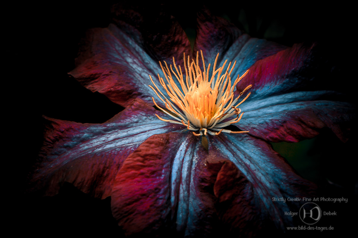 floral color clematis